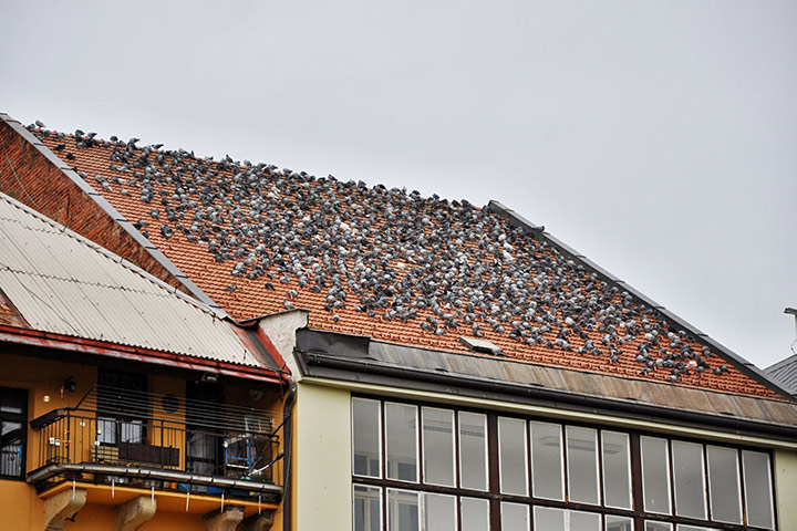 A2B Pest Control are able to install spikes to deter birds from roofs in Maylandsea.